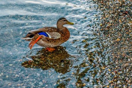 duck-1256345_1920