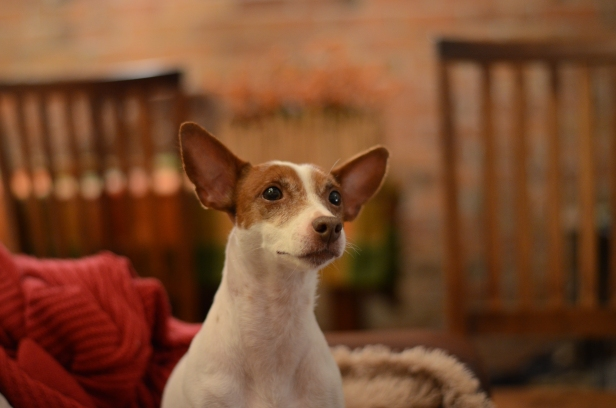 dog rat terrier