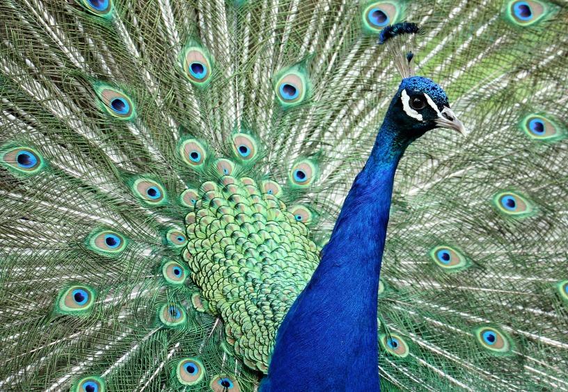 peacock vanity self love